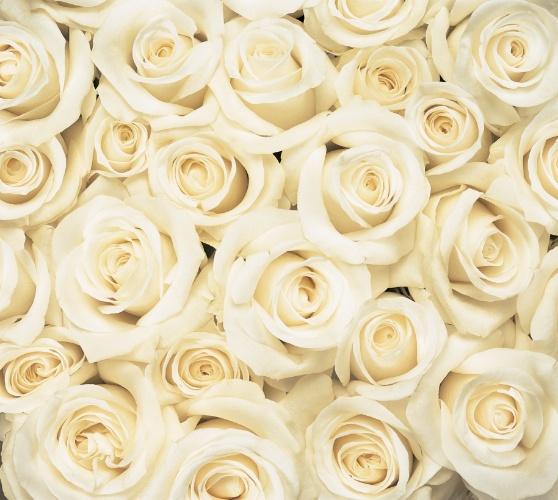 rosas-brancas-rosa-branca-1389893231788_558x500