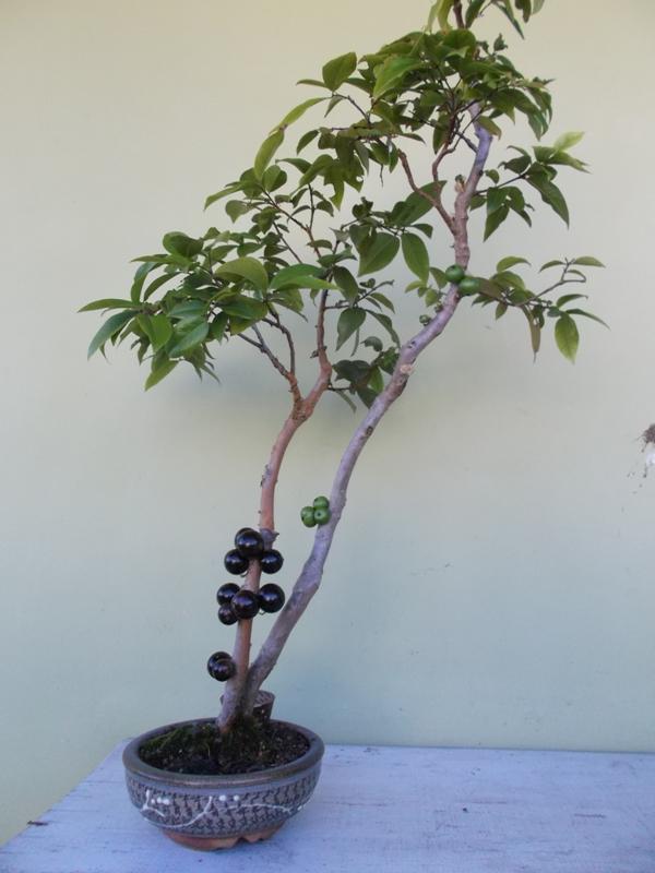 01-Bonsai-de-Jabuticabeira-frutas