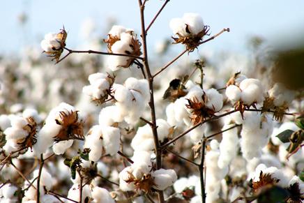 cultivo-do-algodao-2